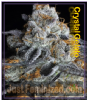 Big Head Crystal Gelato Female 5 Marijuana Seeds